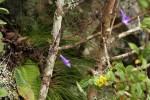Streptocarpus sp.nov. aff. S. grandis