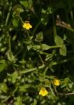 Crepidorhopalon flavus