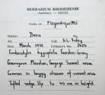 Abildgaardia hygrophila