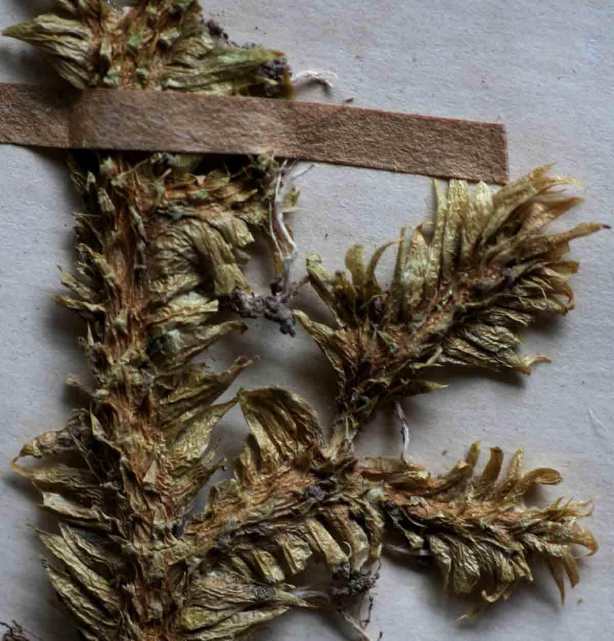 Lycopodiella caroliniana