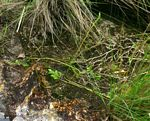 Lycopodiella sarcocaulon