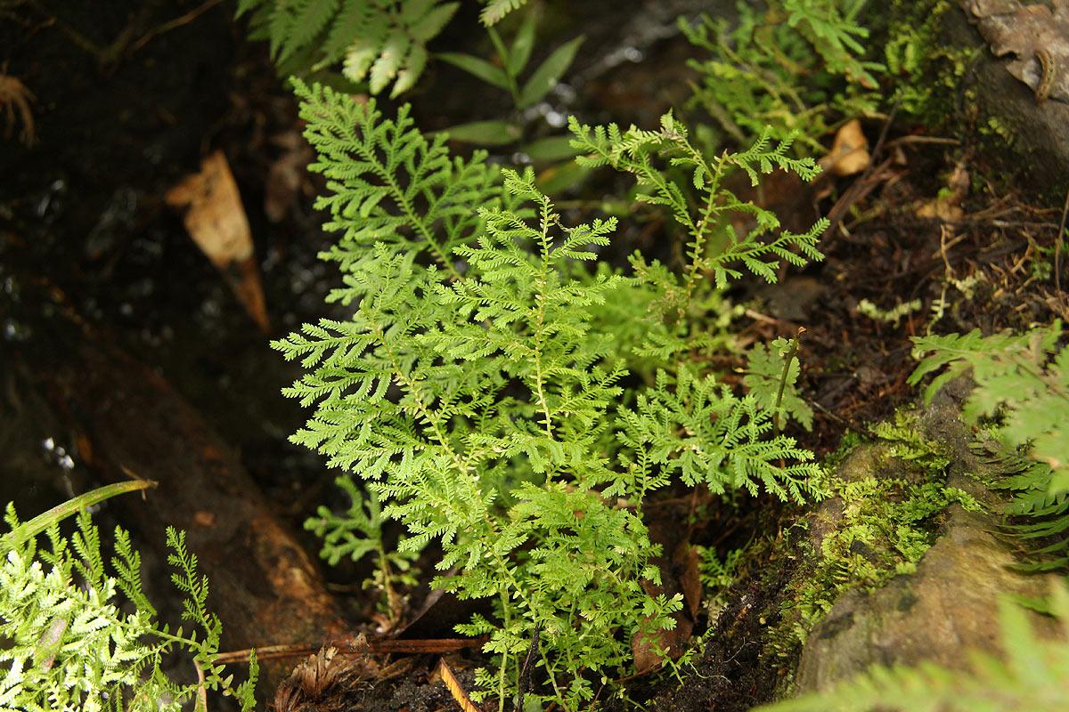 Selaginella goudotiana var. abyssinica