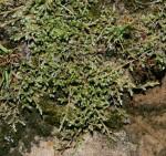 Selaginella dregei
