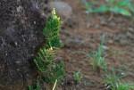 Selaginella imbricata
