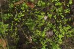 Selaginella mittenii