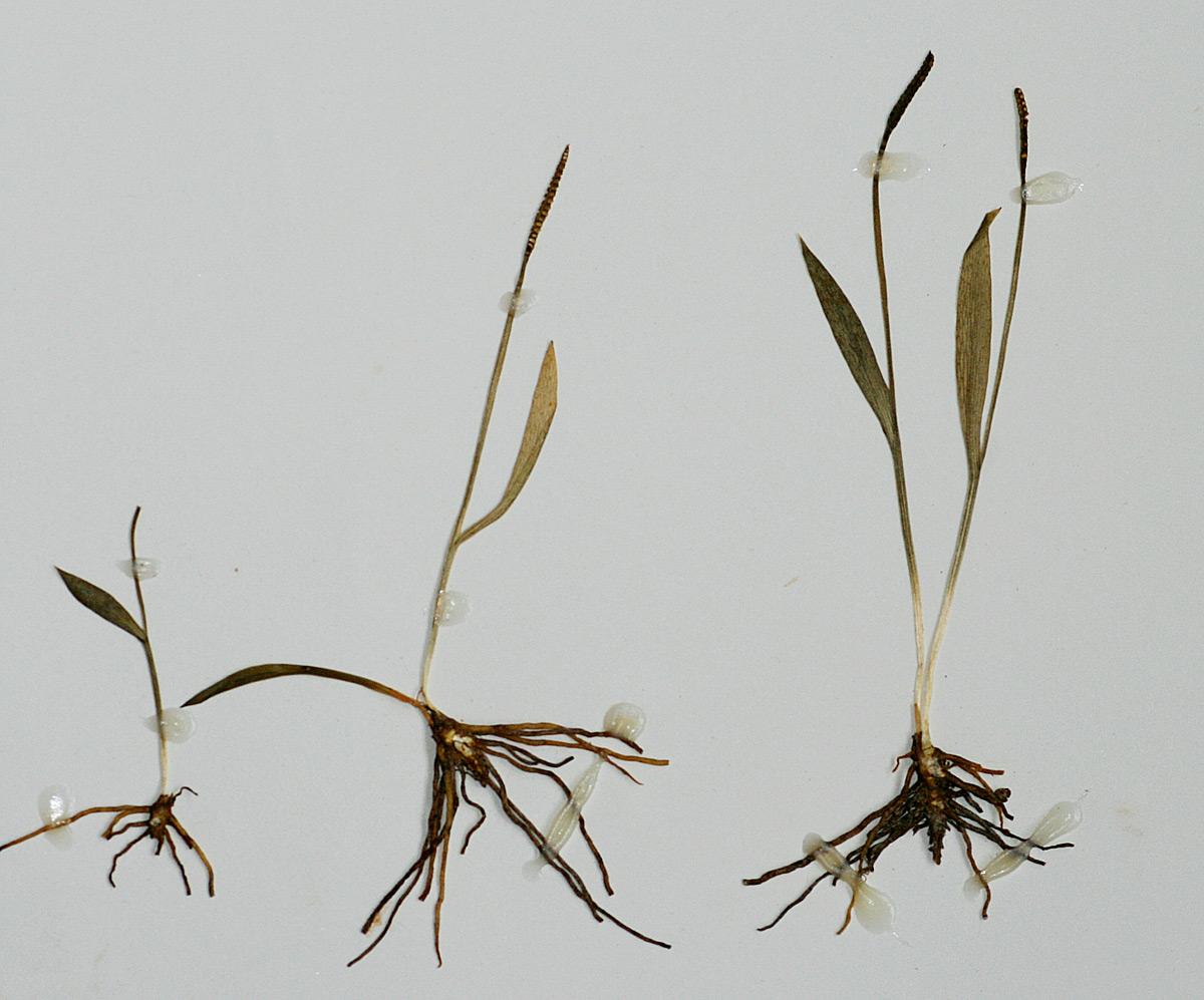 Ophioglossum caroticaule
