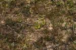 Ophioglossum gomezianum