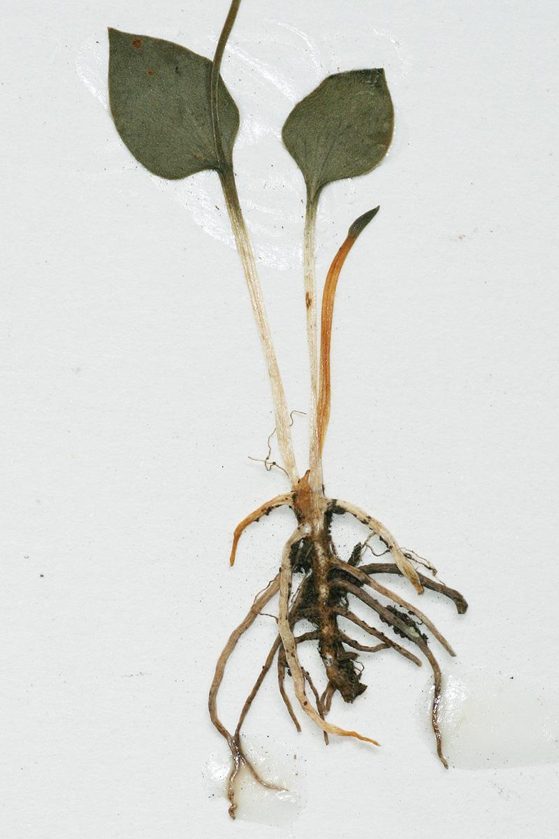 Ophioglossum latifolium
