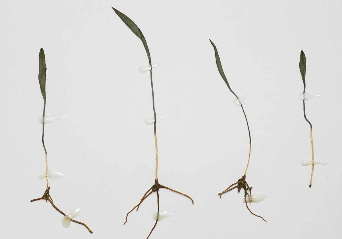 Ophioglossum lusoafricanum