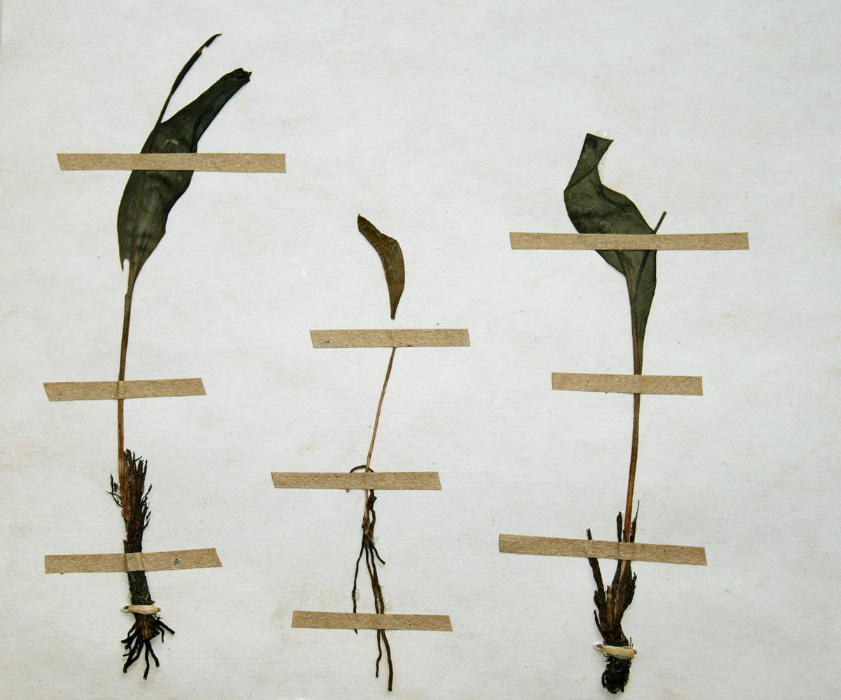 Ophioglossum polyphyllum
