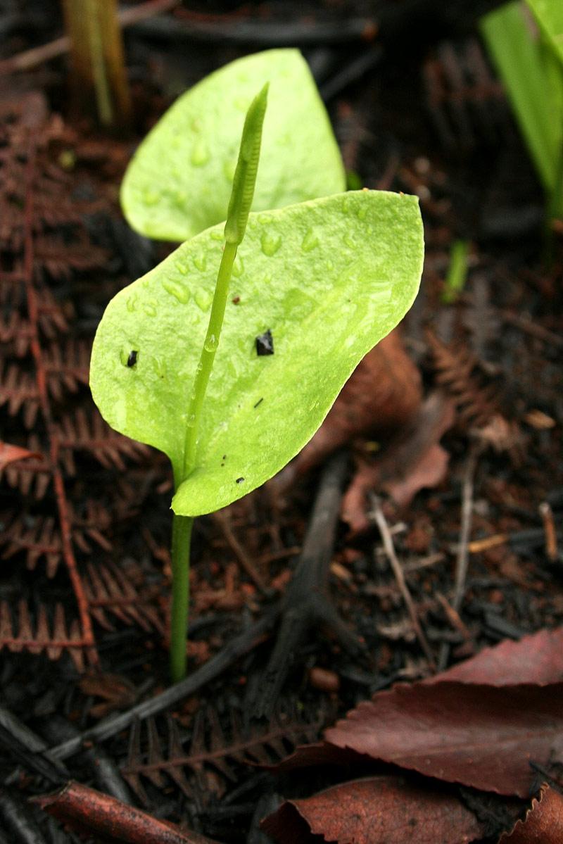 Ophioglossum reticulatum