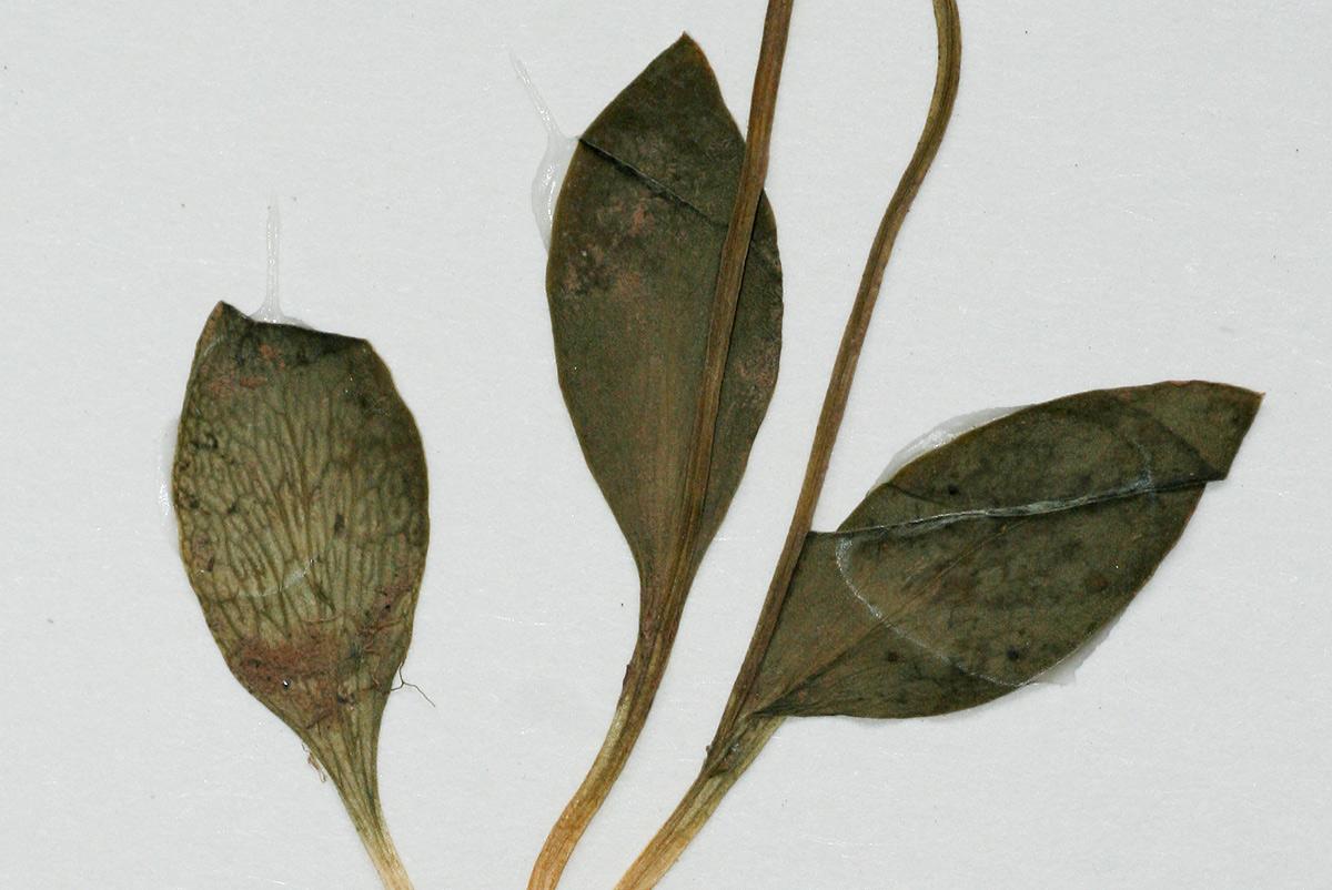 Ophioglossum rubellum