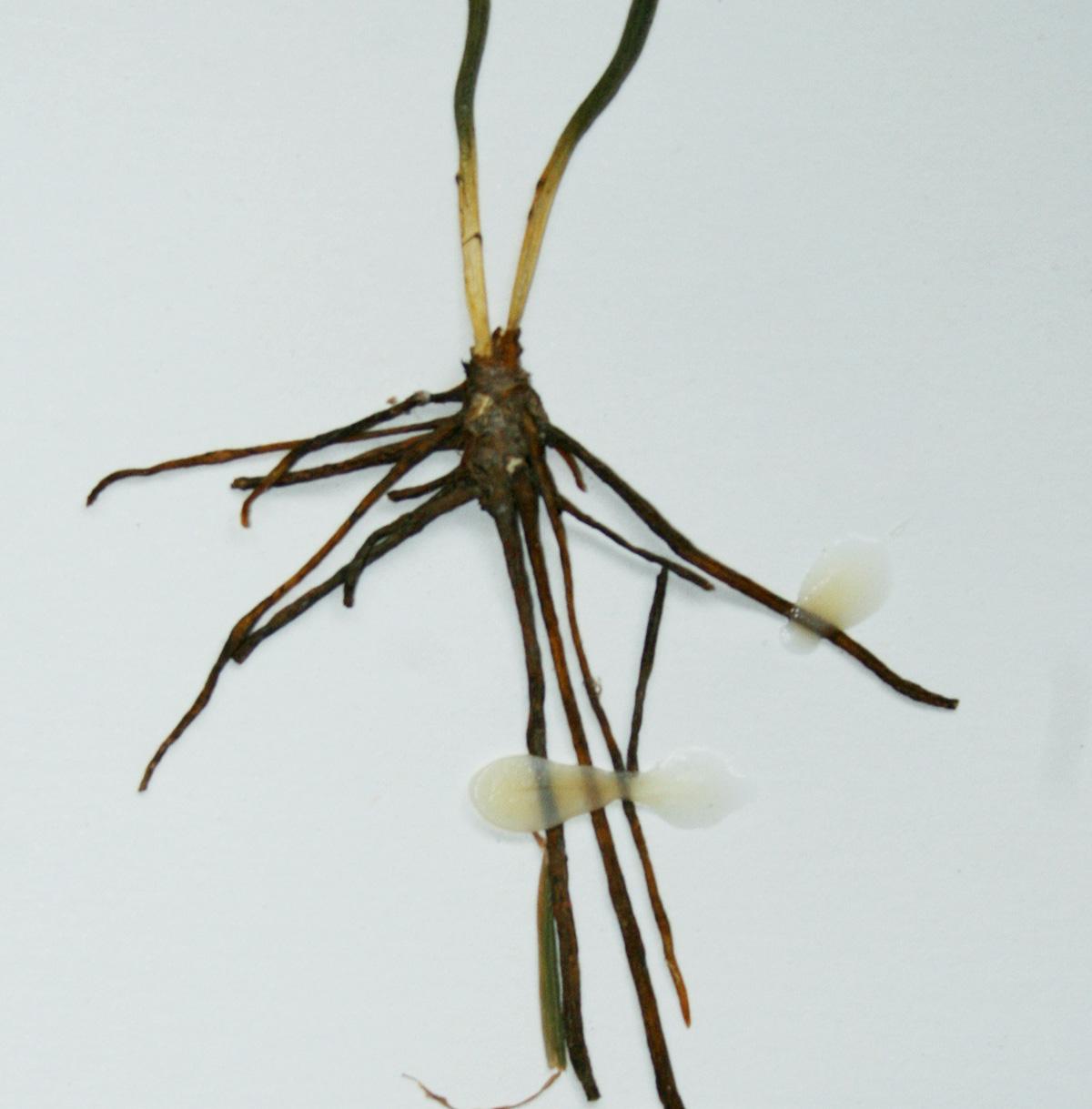 Ophioglossum vulgatum subsp. africanum