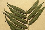 Ptisana fraxinea var. salicifolia