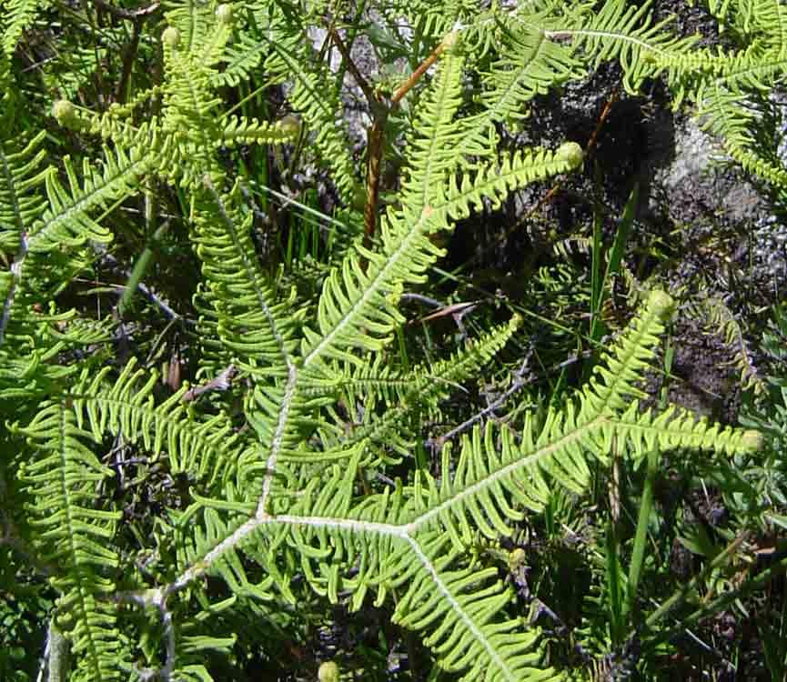 Sticherus umbraculiferus