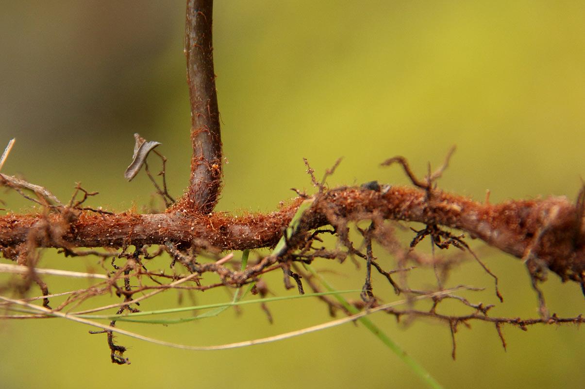 Dicranopteris linearis