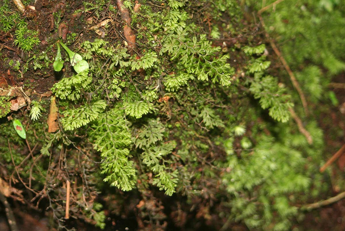 Hymenophyllum capense