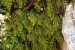 Hymenophyllum kuhnii