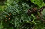 Hymenophyllum tunbridgense