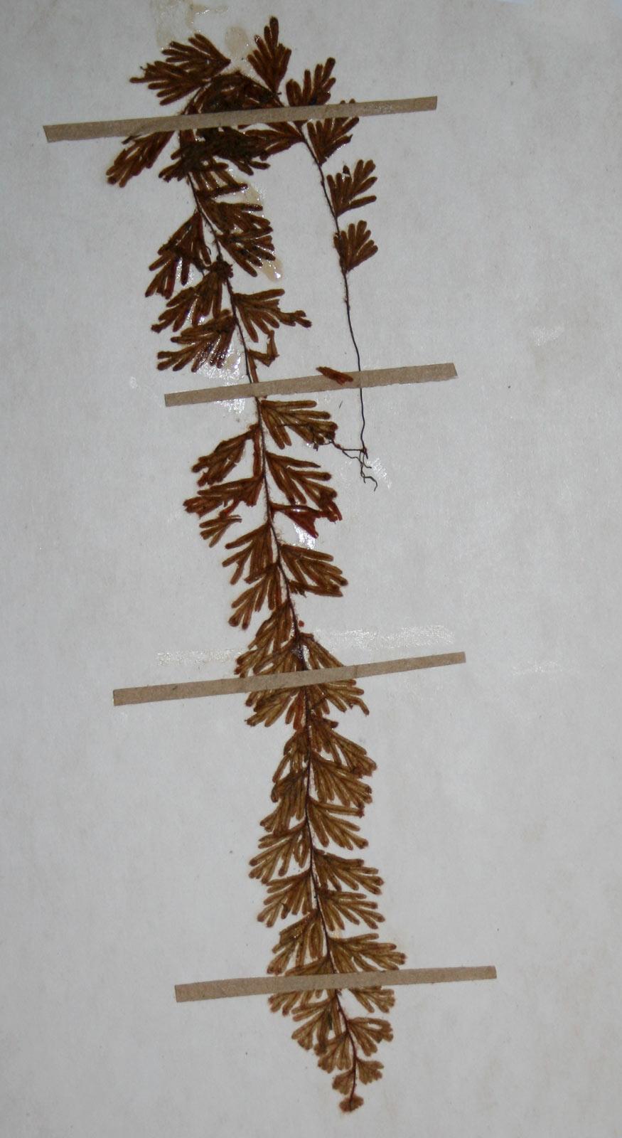 Hymenophyllum capillare var. alternialatum