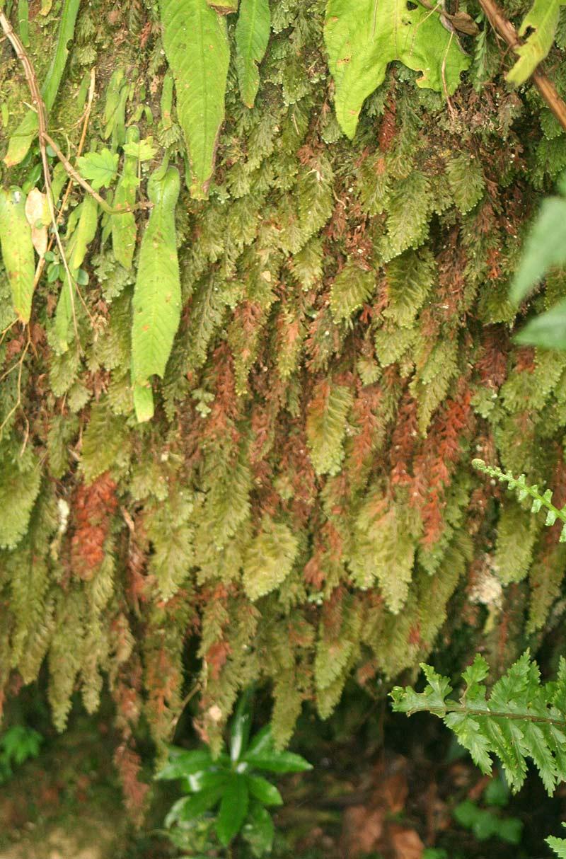 Hymenophyllum splendidum