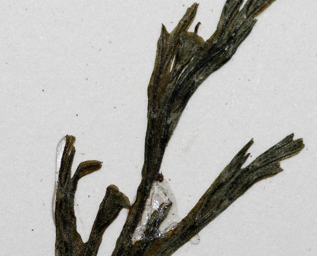 Crepidomanes melanotrichum