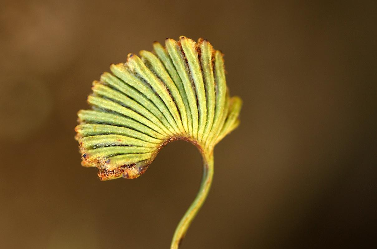 Schizaea pectinata