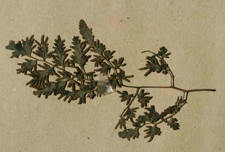Lygodium kerstenii