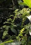 Lygodium microphyllum