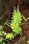 Mohria nudiuscula