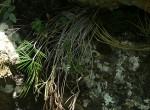 Actiniopteris dimorpha subsp. dimorpha