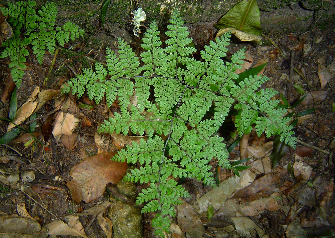 Cheilanthes bergiana