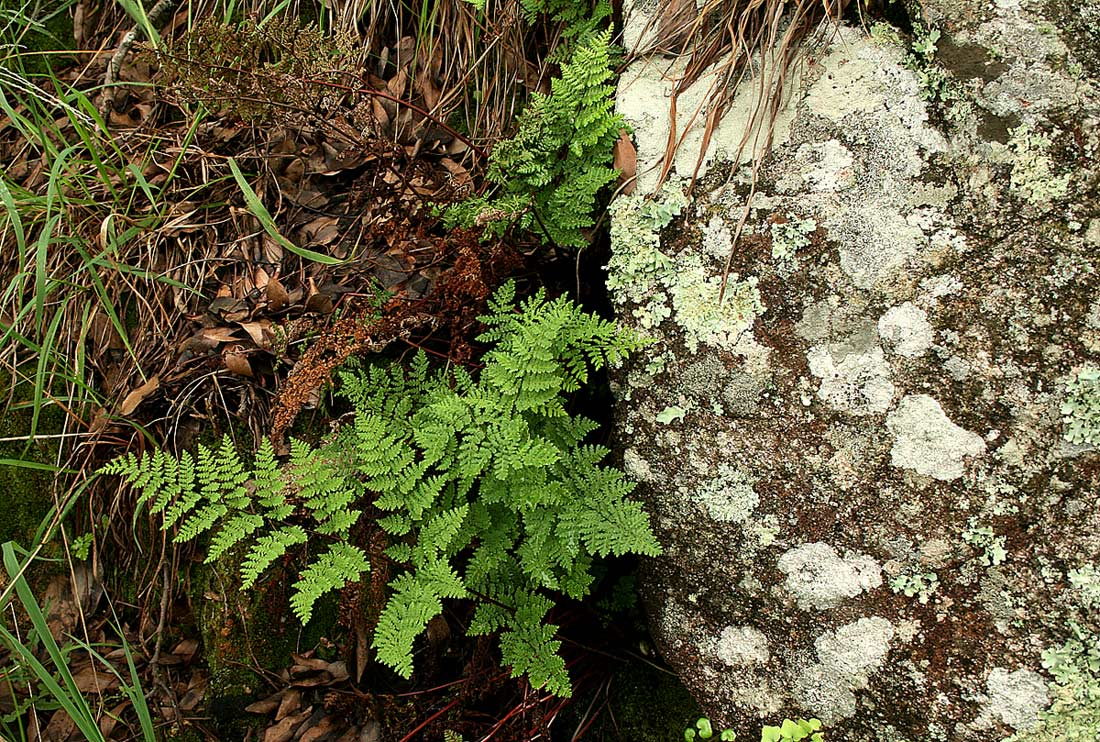 Cheilanthes multifida