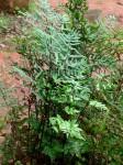 Cheilanthes viridis var. viridis