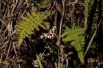 Aleuritopteris farinosa