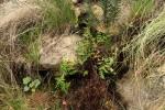 Aleuritopteris welwitschii