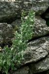 Pellaea calomelanos var. calomelanos