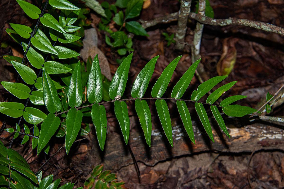 Pellaea doniana