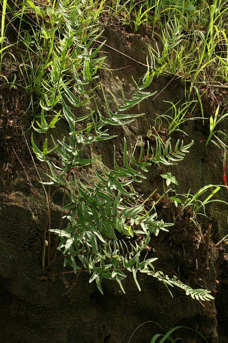 Pellaea longipilosa