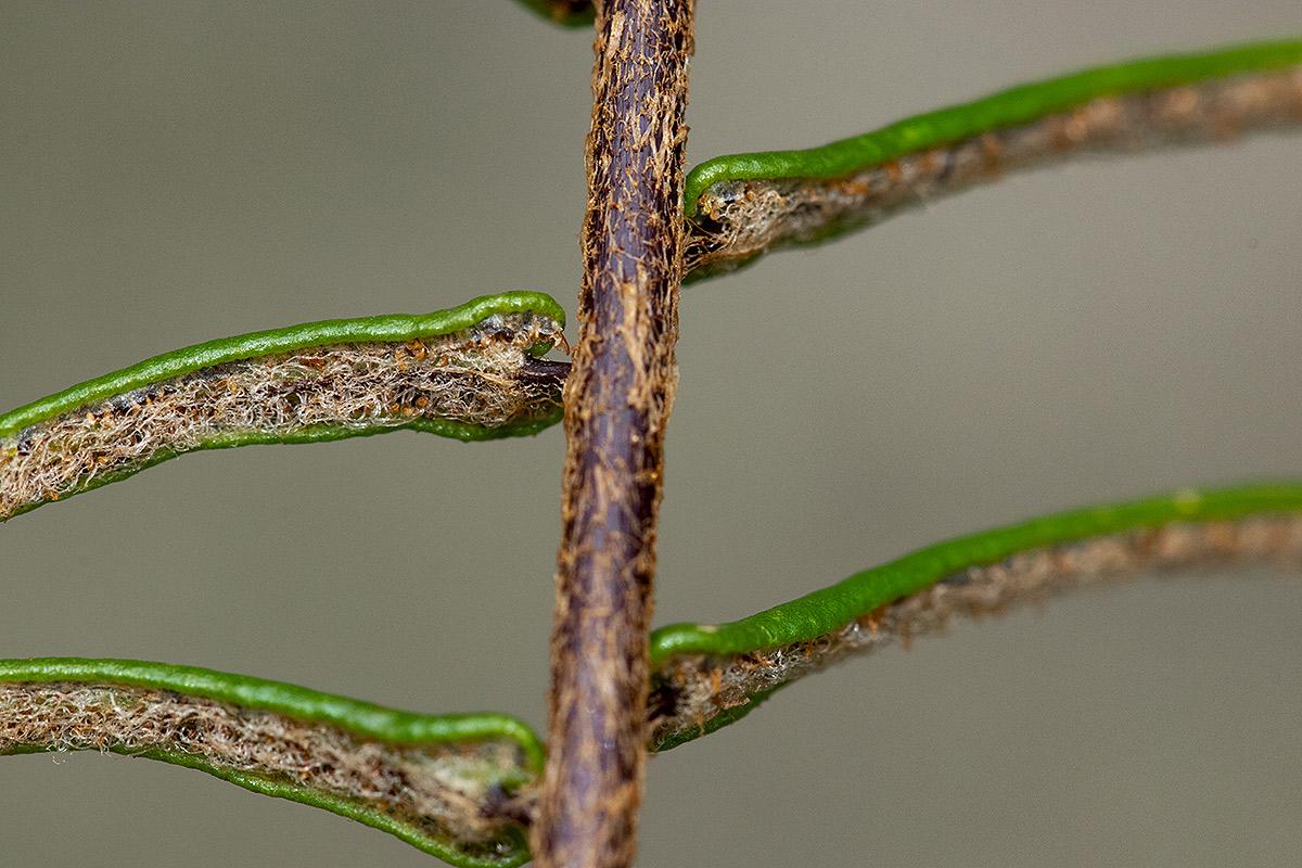 Pellaea pectiniformis