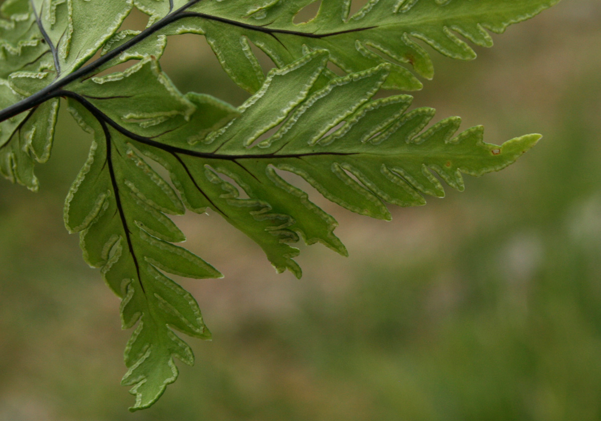 Doryopteris concolor