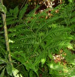 Pteris dentata