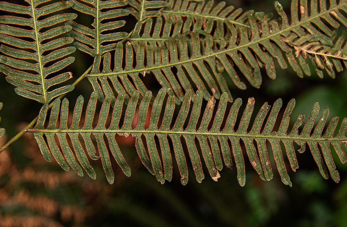 Pteris friesii