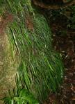 Vittaria guineensis var. orientalis