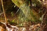 Vittaria isoetifolia