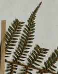 Cyathea capensis