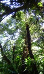 Cyathea manniana