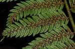 Cyathea thomsonii