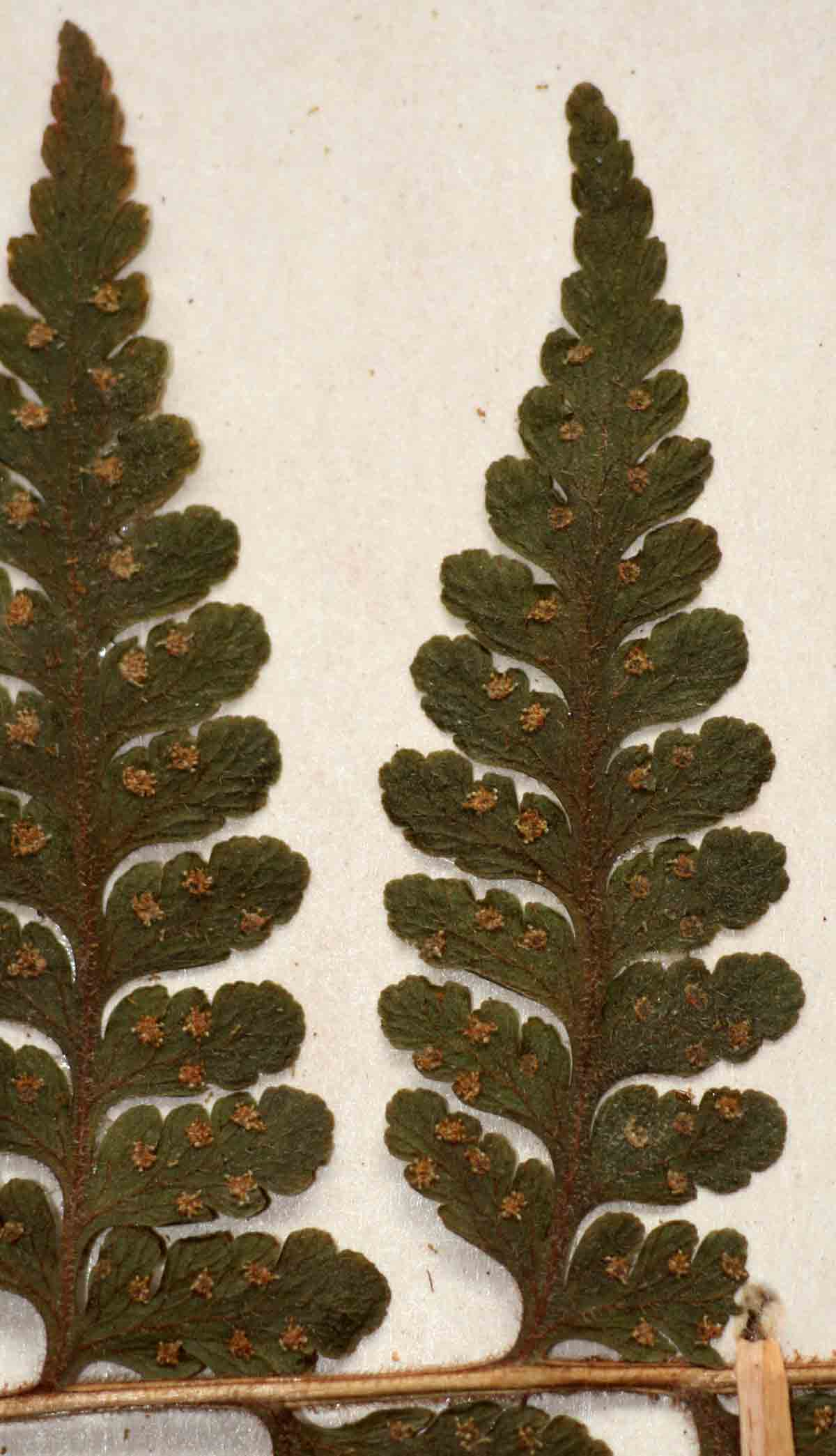 Microlepia speluncae