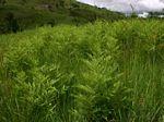 Pteridium aquilinum subsp. centrali-africanum